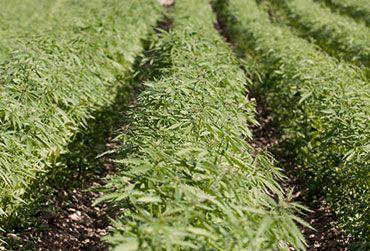 Agrozen Hemp Crop